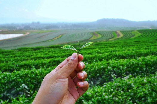 Showing green tea leafs in green tea field at Chiang Rai province Thailand