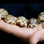 Mundo animal africano: menor tartaruga e maior crocodilo do mundo