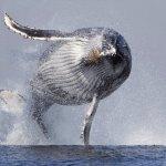 Baleia voa para fora d'água e fica com o corpo todo no ar