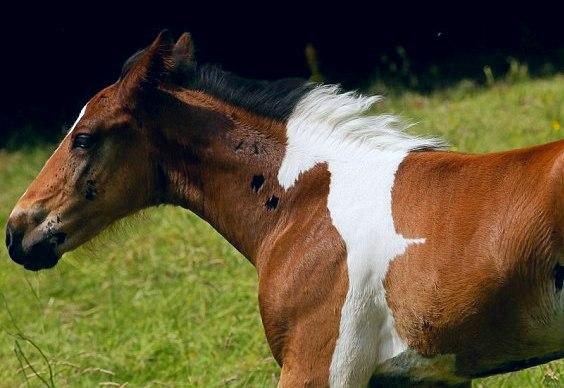Dois cavalos num só