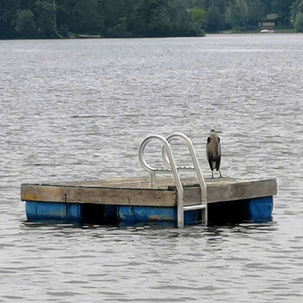 "This image has an empty alt attribute; its file name is Mathew-Ingram-on-Instagram-""Great-Blue-Heron-hanging-out-on-the-neighbour-s-raft-this-morning"".png"