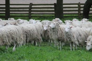 Wildeshausen πρόβατα