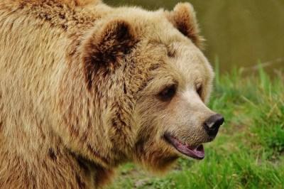 bear 1560438141 - Μεσ' στο δάσος τριγυρίζει μια αρκούδα και μυρίζει