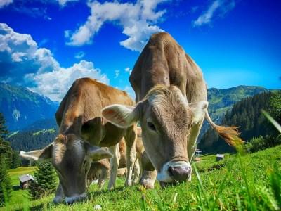 cow 1560793452 - Η καλή μας αγελάδα