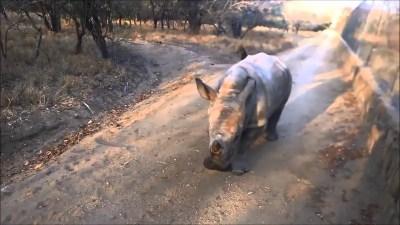 sheep and rhino best friends for - Ένα πρόβατο κι ένας ρινόκερος είναι οι καλύτεροι φίλοι - Sheep and Rhino Best Friends Forever