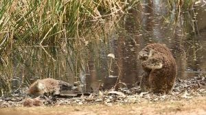 Foto mostra um coala velando um outro coala morto pelos incêndios na Austrália? 190