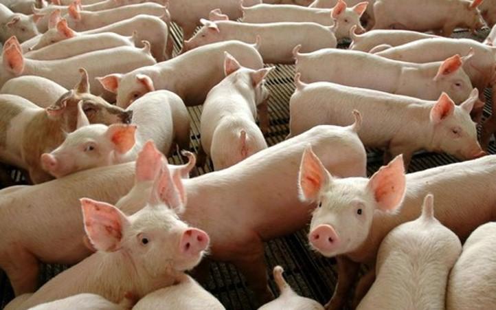 Apesar da margem baixa, exportações de carne suína aumentam. China cresce 40% a demanda