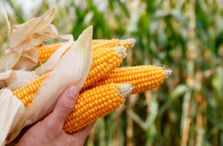 Preço do milho sobe 5,76% em Mato Grosso; Sorriso registra 70% da área colhida