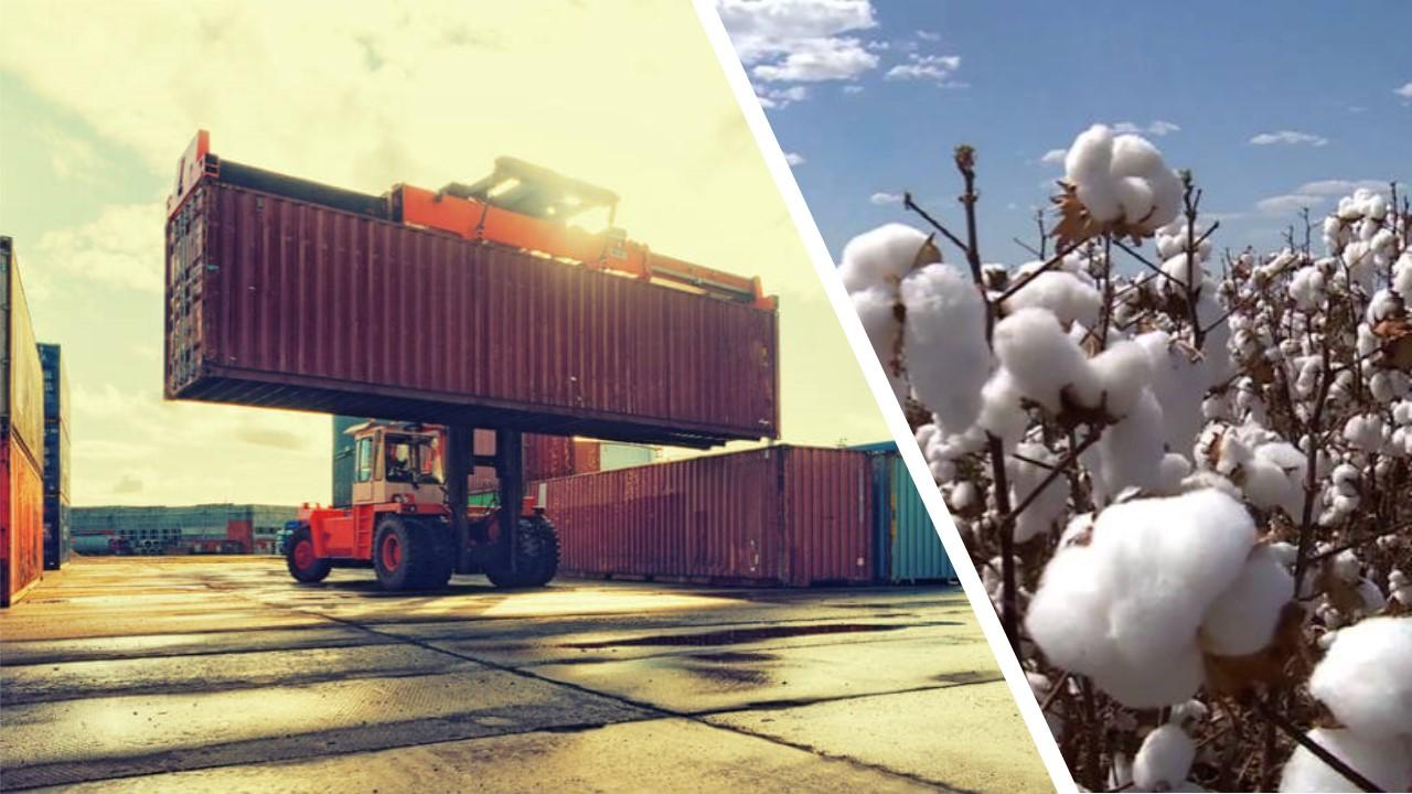 Cerca de 30% do algodão de Mato Grosso é comprado pela China