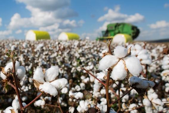 Exportação do algodão de Mato Grosso bate recorde histórico