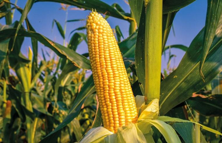 Mercado do milho começa agosto com boa expectativa de produtividade em Mato Grosso