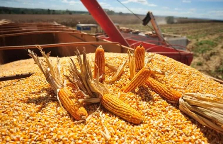Colheita do milho safrinha em Mato Grosso está na reta final, aponta Imea