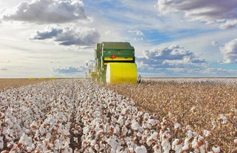 Produção de pluma de algodão cresce em MT após registrar menor oferta em dois anos