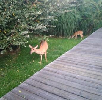 good morning, deer