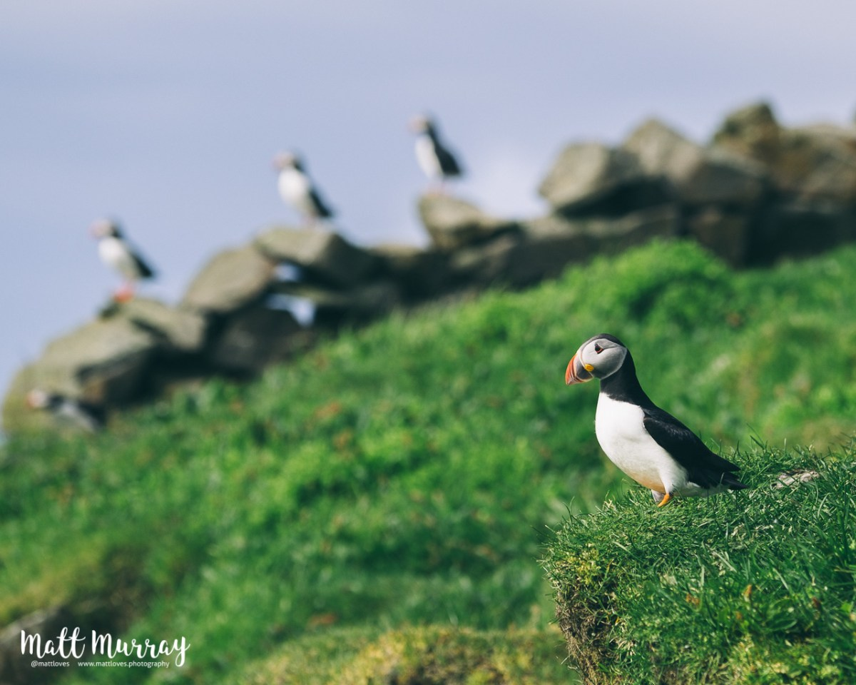 The puffins of Mykines