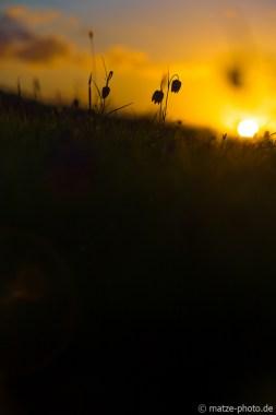 schachbrettblumen-wiese