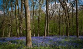 Maulden Woods in Spring