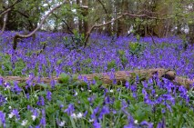 Maulden King's Wood bluebells close