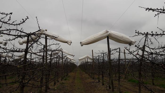 Hoy  se abren postulaciones para concurso de cubiertas de cerezos