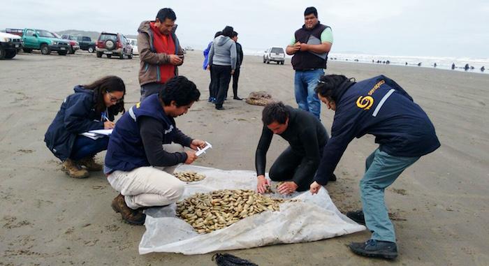 Veda de la macha por 5 años busca recuperar los disminuidos bancos naturales de este recurso pesquero en la región del Maule
