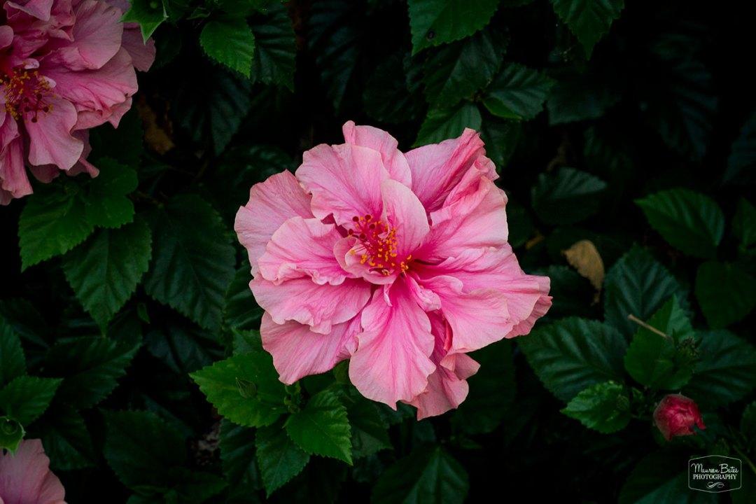 Maureen Bates Photography, Pale Pink Hibiscus, Shop, maureenbates.com