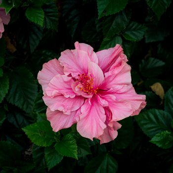 Maureen Bates Photography, Pale Pink Hibiscus, Shop, maureenbates.com
