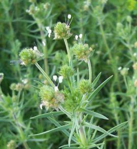 Plantago psyllium