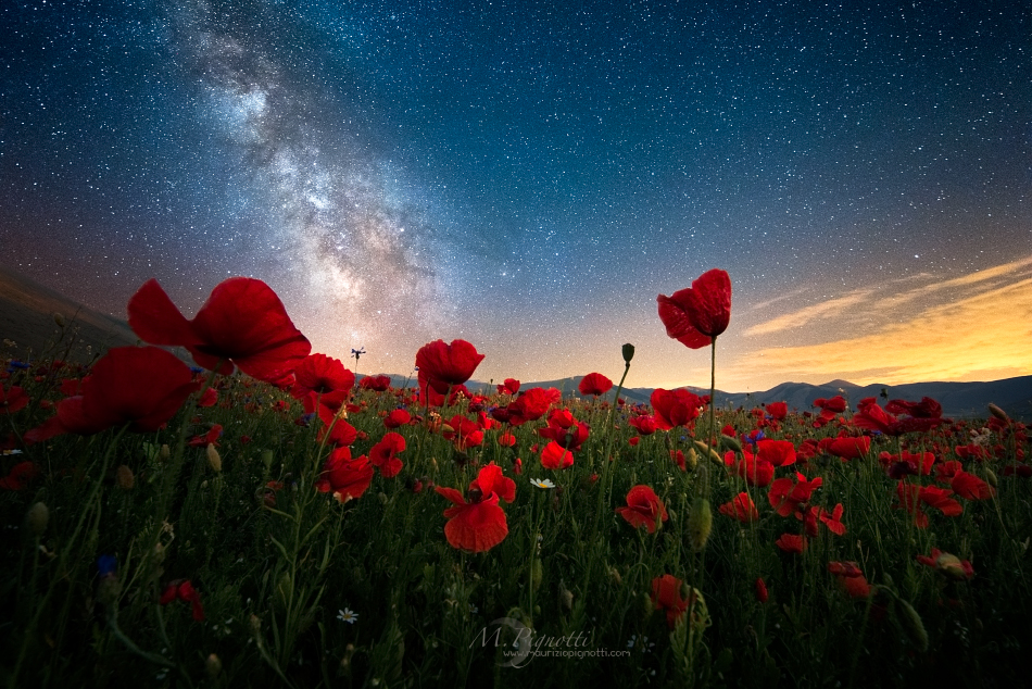 ©-Poppies