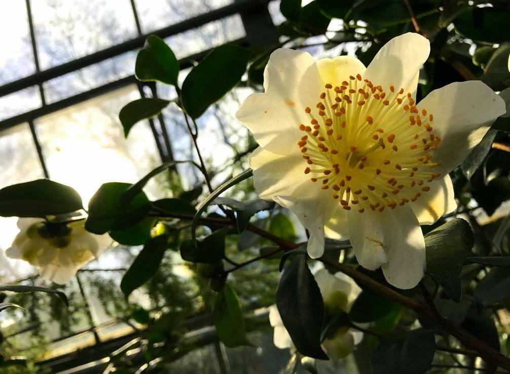 #travelbloggerindia #colognebotanicalgarden #camellia #Germanytourism #colognetourism #cologneflora