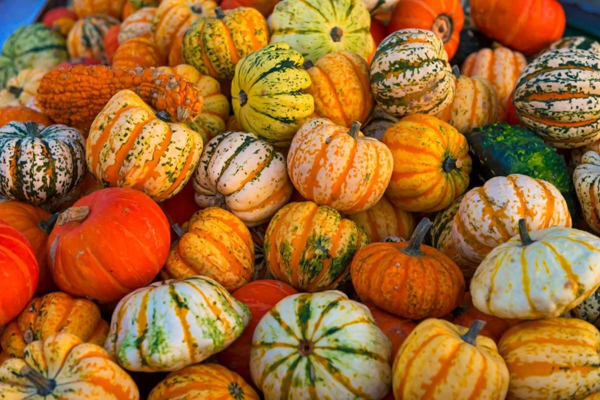Pumpkin is a kind of fruit