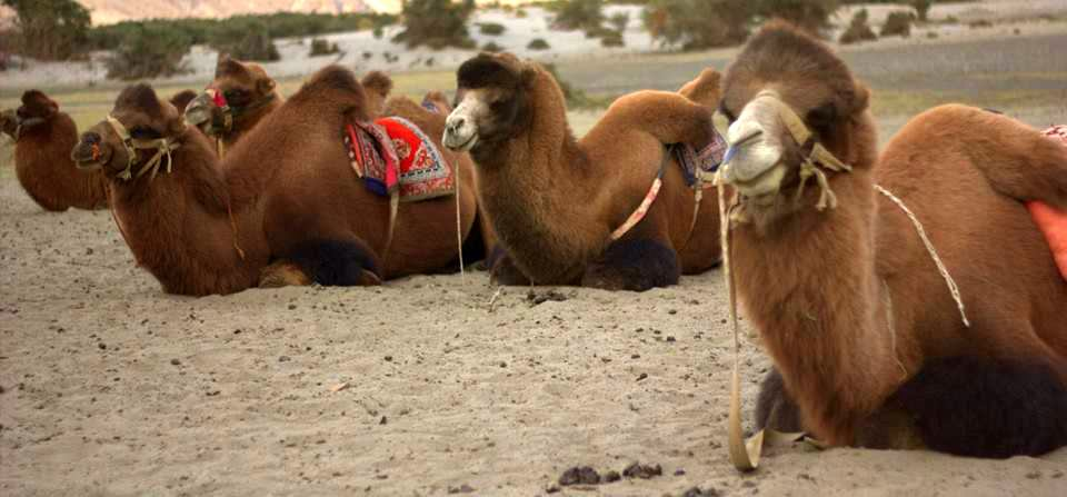 The double-humped Bactrian camels of Nubra Valley