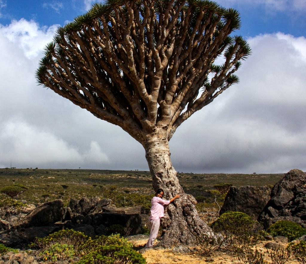 The blood dragon tree of Socotra Island