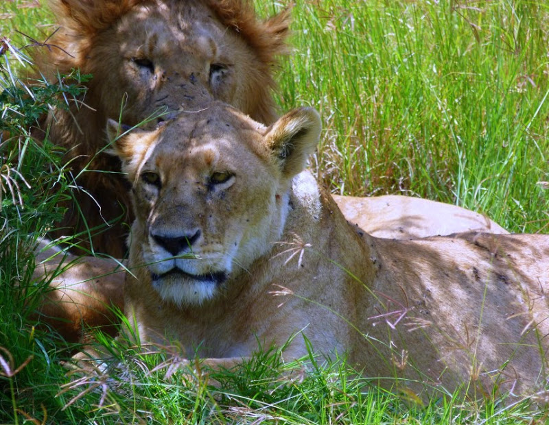 Wildlife is a must in kenya tanzania itinerary