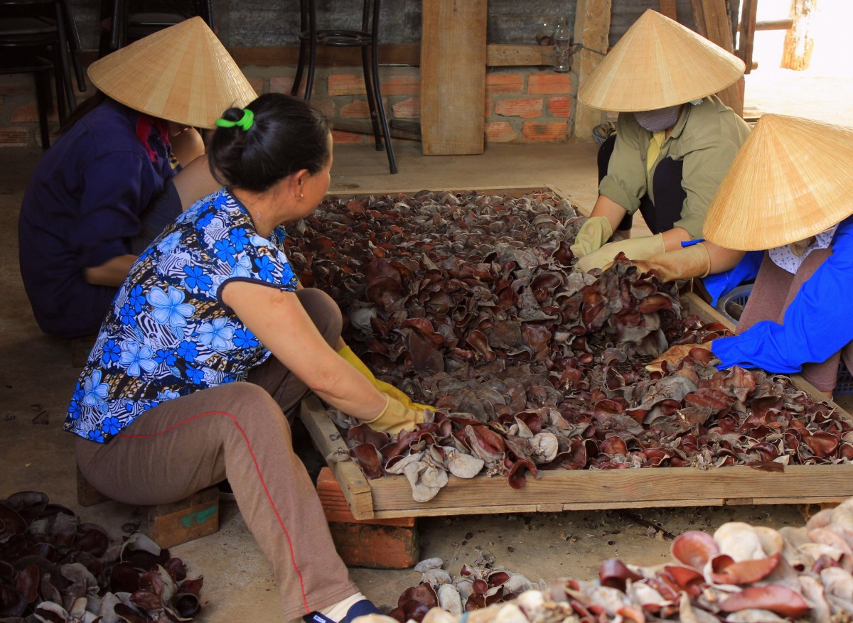 Local women sorting mushrooms at a farm somewhere in Central Vietnam
