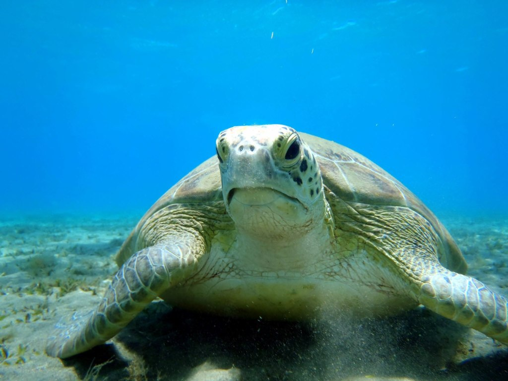 a sea turtle near marsa alam