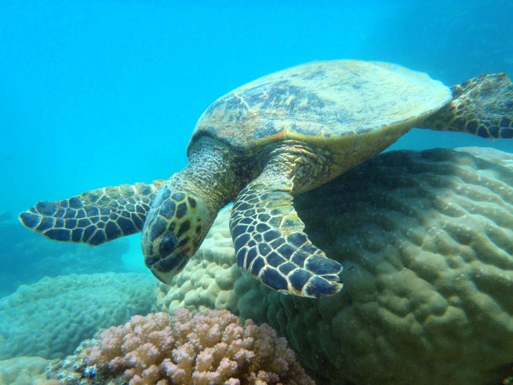 sea turtle in marsa alam