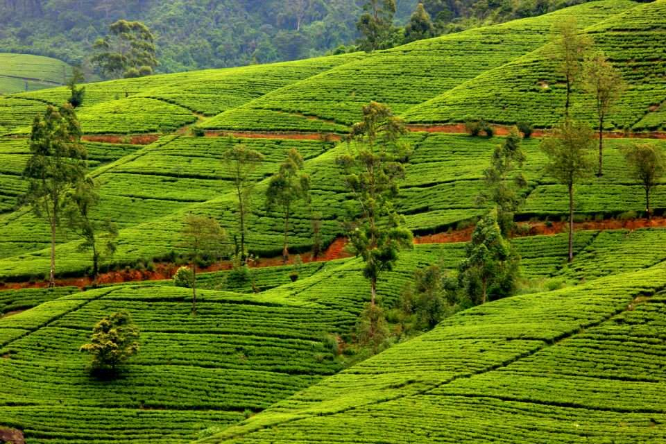 Tea gardens near Nuwara Eliya