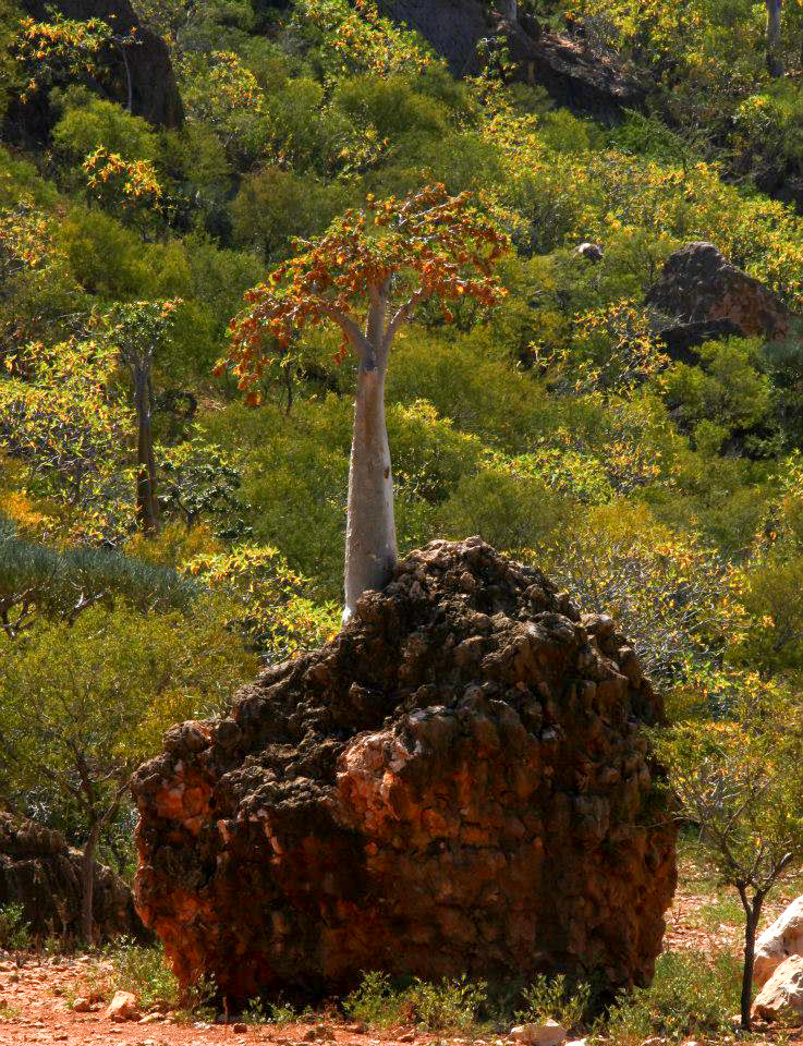 A young cucumber tree growing on a rock in Moumi Plateau