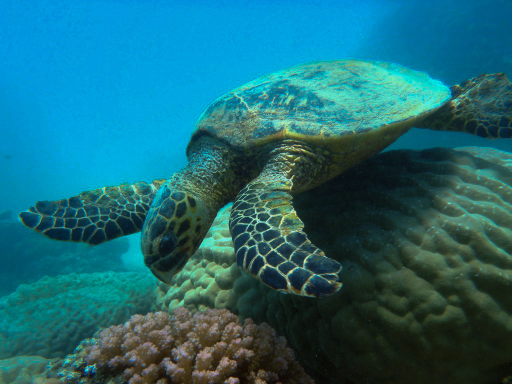 Sea turtle at Abu Dabbab seen during marsa alam diving