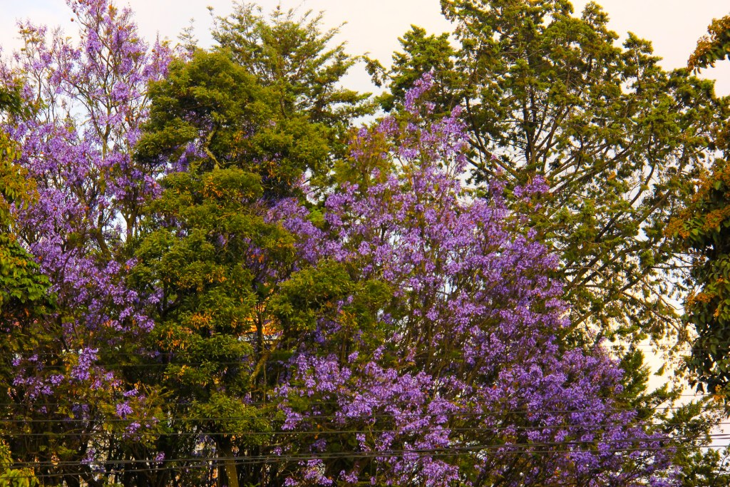 Jacaranda blooming all over Addis Ababa