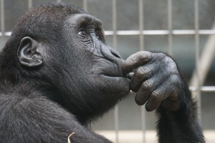 Un mono se pregunta qué son las inteligencias múltiples.