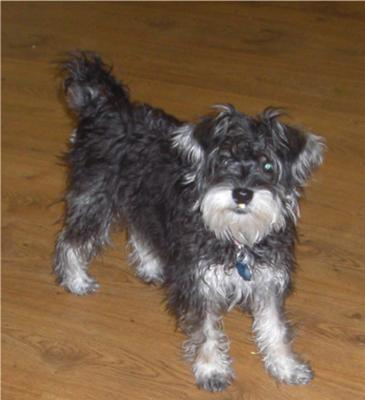 Schnauzer With Long Tail