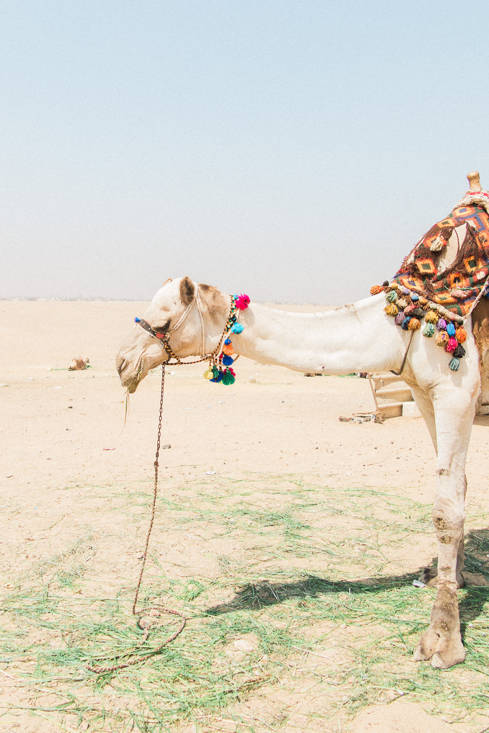 A camel eating grass in the Giza Desert in Egypt