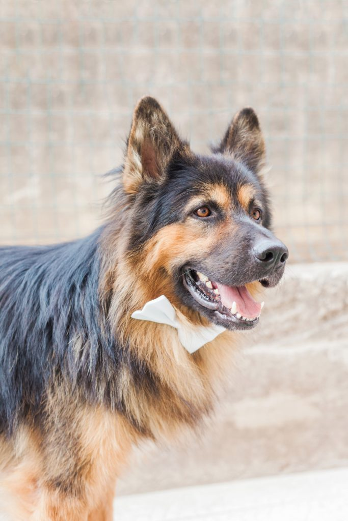 The grooms German Shepherd dog wearign a white bowtie
