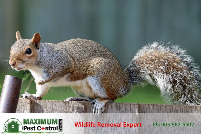 How To Get Rid Of Squirrels In Your Home