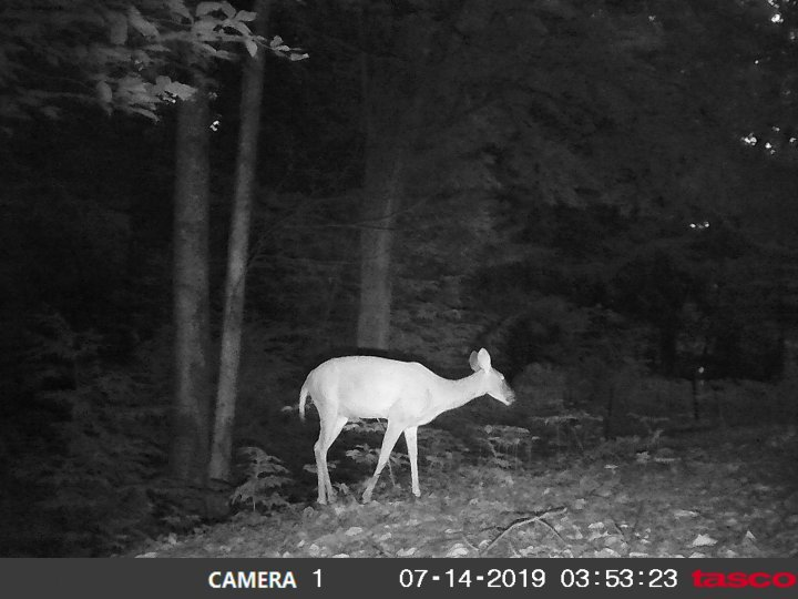 Game-cam photo of a deer at night.