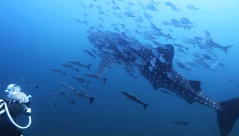 Whale Shark in Koh Tao