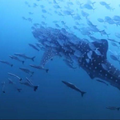 Whale Shark in Koh Tao