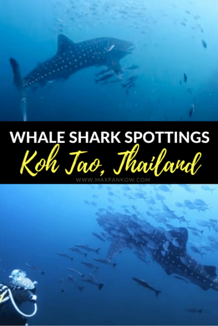 Whale Shark Spottings in Koh Tao Thailand - Max Pankow Adventures