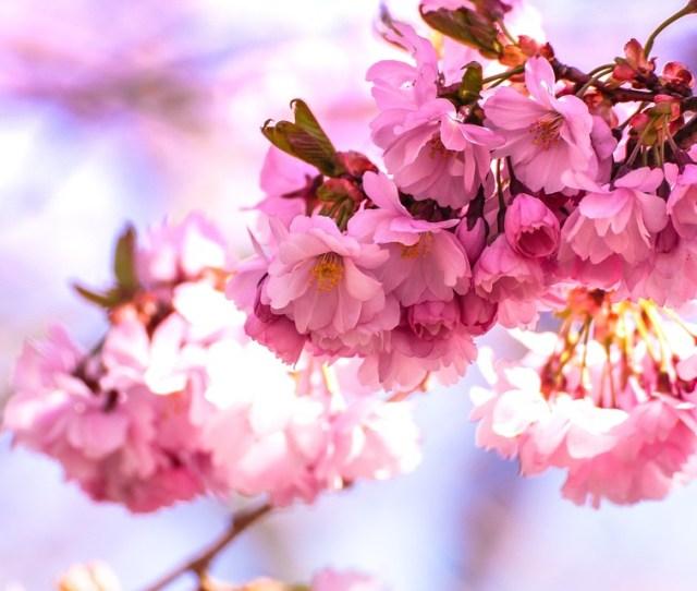 Bloom Blossom Blur Cherry Blossom Close Up